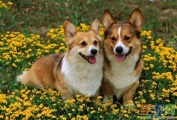 狗为什么会吐舌头|狗为什么老是吐舌头 狗老是吐舌头的原因