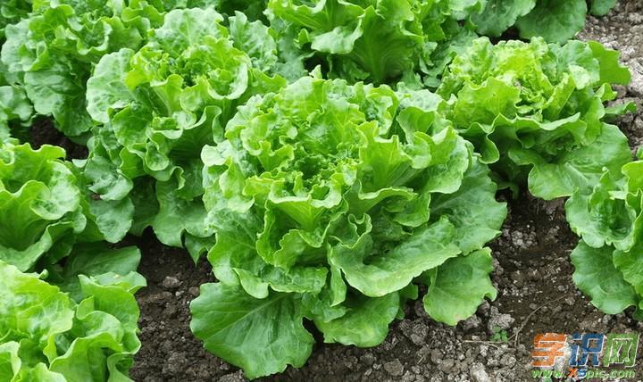种植生菜的方法_生菜的种植技术