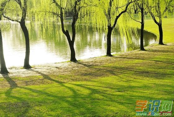 关于春天柳树的好句好段
