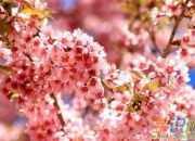 描写樱花的40句优美段落