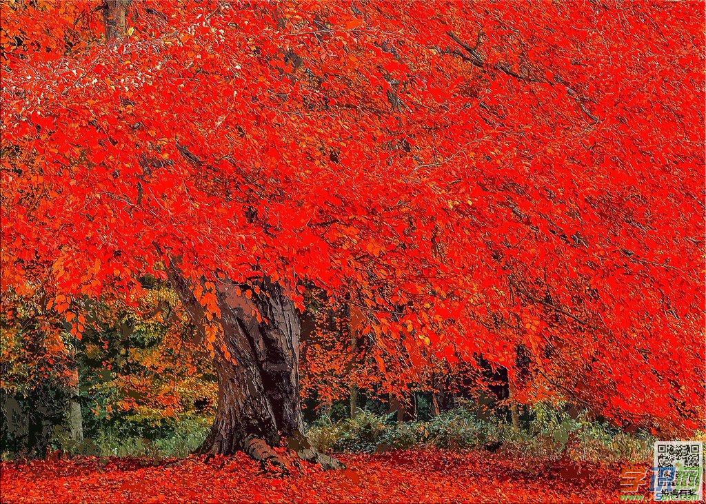秋天的枫树作文500字精彩范文