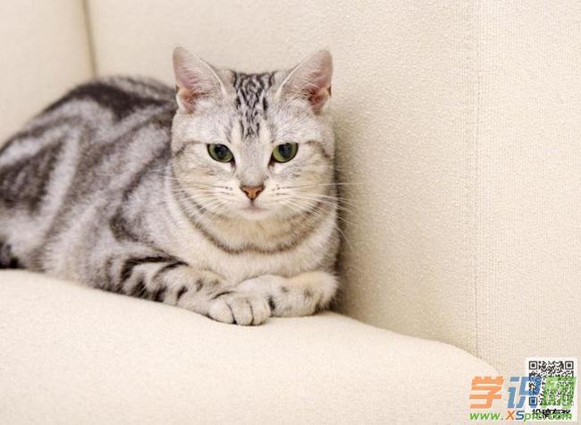 """姥姥家养着一只虎斑猫,肥胖的身子,黄茸茸的毛,还有一双蓝眼睛。每当我走到它身边时,它就转过身,扭过头,后脑勺贴在我脚腕上,蹭来蹭去,嘴里不断""""喵喵""""着,那声音要多柔和有多柔和,分明是在讨好我呢!   虎斑猫犹如一位可爱的小孩,吃饭的时候它最会卖萌啦!"""