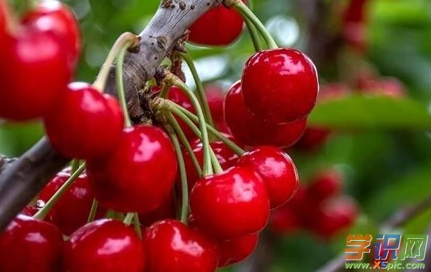 有关临朐樱桃的散文:美味樱桃,幸福临朐