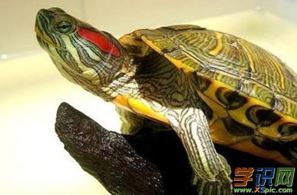 巴西龟成龟的饲养方法