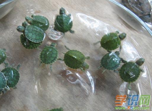 巴西龟养殖的优势有哪些