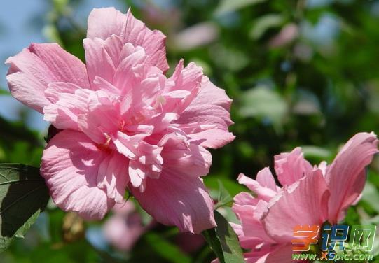 木槿花的繁殖方法有哪些