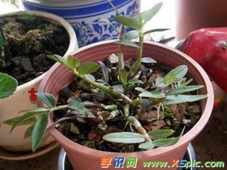家庭石斛种植方法有什么