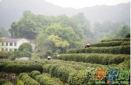 饮茶知识:龙井,最春天