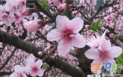 描写桃花的现代诗歌:又见桃花艳