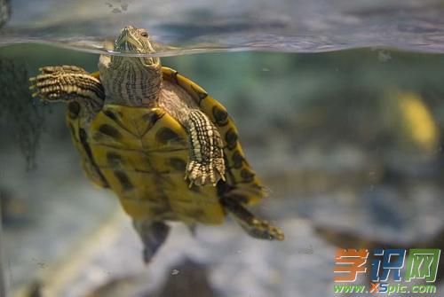 有关养乌龟的作文:第一次养乌龟
