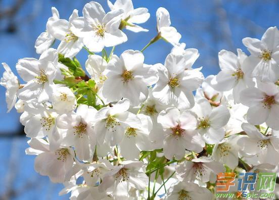 【《樱花》歌曲】《樱花》为标题的现代优美诗歌