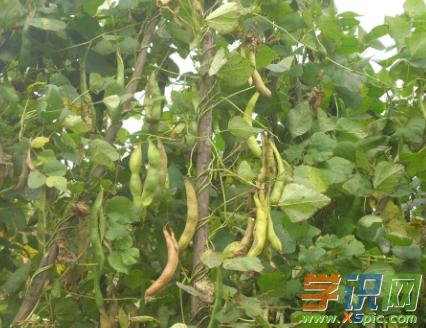 白芸豆种植知识有哪些