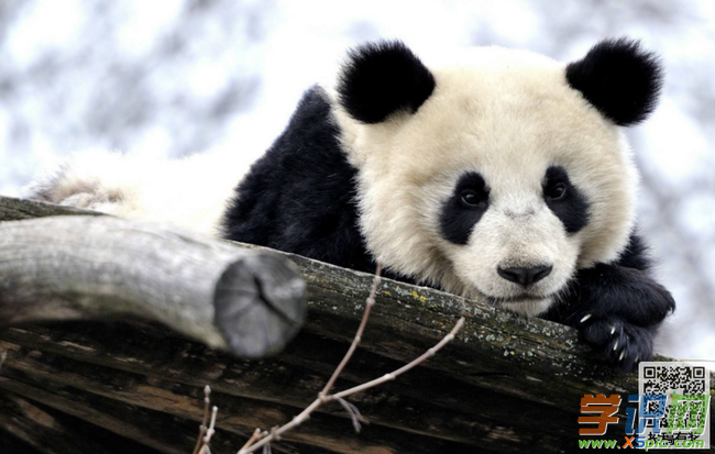 描写动物的作文:懒惰的熊猫