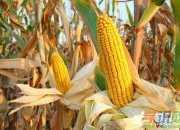 二年级日记200字:掰玉米