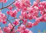 赏樱花的日记作文4篇