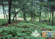 林下参种植技术