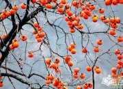 绕口令山前有四十四棵死涩柿子树