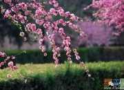 《樱花》为题小学四年级澳门葡京网址